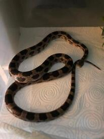 Adult unsexed Anery Corn snake
