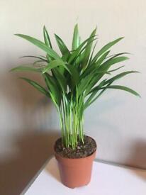 Cat Palm Houseplant