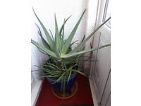 "Aloe Vera Plant 32"" Healthy Live"