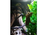 Crested Geckos and Full Set Up