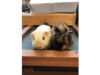 Baby boar guinea pigs for sale - £40 the pair