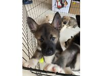 Siberian Husky Puppies for Sale - Only 5 left!