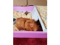 TWO beautiful guinea pigs with cage and accessories