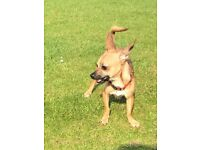 Good home needed 11 month old rack russell x chihuahua very friendly family dog