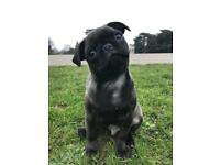 Beautiful Puppy Pug