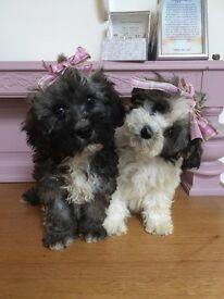 Beautif Bichon poo puppies