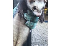 Female Baby Ferrets for Sale