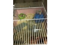 2 Syrian hamster