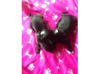 Presa pups for sale