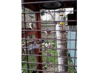 8 young Penguin/Zebra Finches