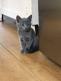 Beautiful Grey/blue kittens *READY NOW*