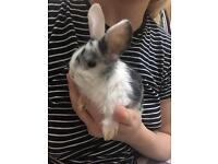 Female 8 week old bunny