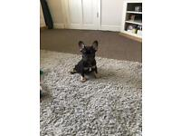 Kc registered French bulldog puppy's LAST 2