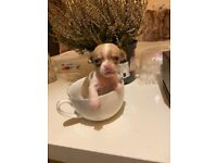 Pedigree tea cup chihuahua puppies available for end of November