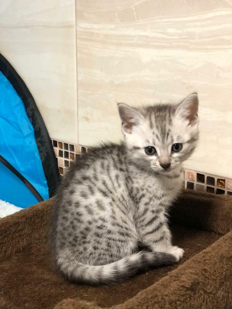 Bengal Kittens For Sale In Standish Manchester Gumtree