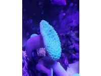 marine coral frags, sps, Lps and mushroom corals