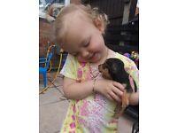 chorkys puppys
