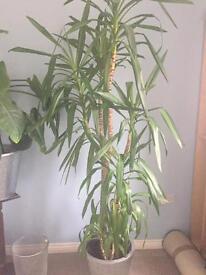 8' Yucca Indoor Plant