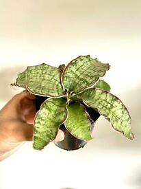 Sansevieria star green granite plant