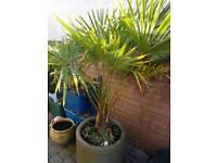 Mature palm and pot
