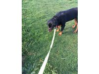 7 Months Rottweiler For Sale