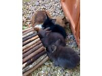 Baby lion head/lop rabbits for sale