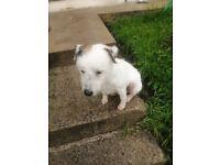 Lakeland terrier white