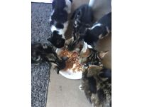 Tabby and black and white kittens ready for new homes boys and girls
