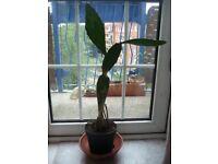 Opuntia Cactus in a Plastic Pot