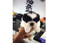 Shuitzu puppy