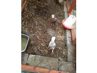 2 pigeon for sale