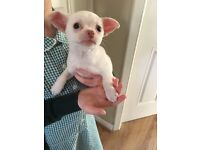 Chihuahua boy puppy looking for his Forever Family