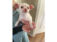 Chihuahua puppy. Pedigree