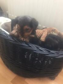 5 Black and Tan Yorkshire terriers 4 male 1 female