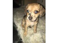 Chiweenie x Jug / Pug Puppies for Sale
