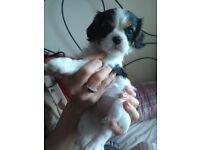 Cavalier King Charles Spaniel Beautiful Tri-colour Girl Puppy £500