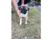 Pug male puppy chocolate and tan carrier