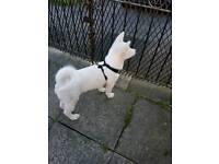💗Beautiful white Akita Pup💗