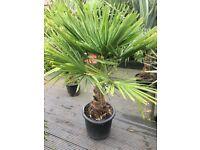 Hardy palm tree garden