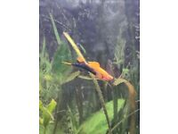 Beautiful 6 month old male swordtail fish for tropical aquarium
