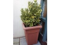 OUTdoor Plant - Euonymus 'Emerald 'n' Gold' hedging