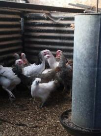 Pure Bred Chickens