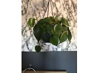 Philodendron hanging trailing house plant