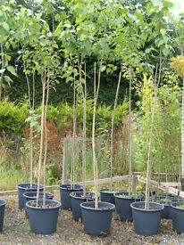 HYBRID POPLAR 50LT POTS,3.3-3.5M TALL,FAST GROWING TREE HIDE TELEGRAPH POLES ETC £45.PLANT NOW.