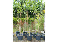 HYBRID POPLAR 50LT POTS,3.3-3.5M TALL,FAST GROWING TREE HIDE TELEGRAPH POLES ETC £45.PLANT NOW.