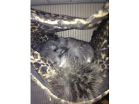 A pair of MALE chinchillas for sale ( + cage & food)