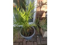 Canary date Palm plant