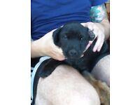 Border terrier cross lakeland pups