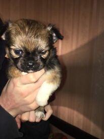 1 Female adroable Chihuahua