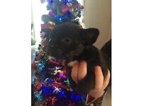 French bulldog X pugs for sale